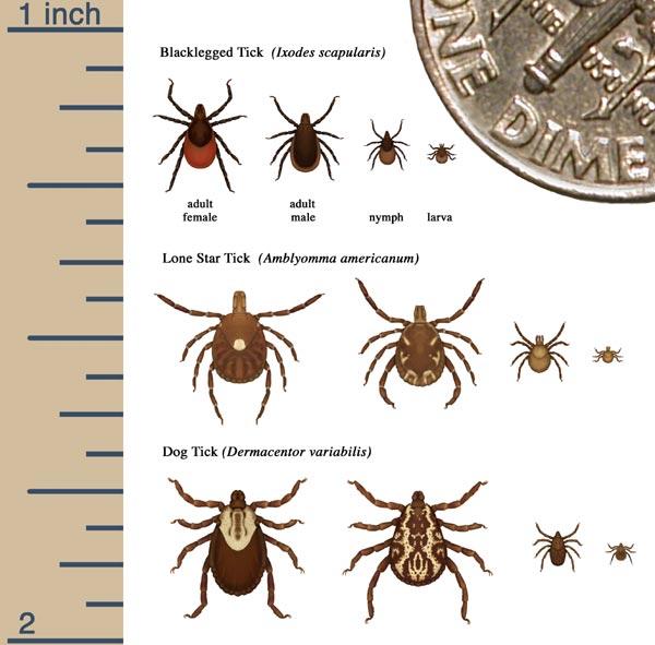 Bed bug vs tick   photo 13. Bed Bug Vs Tick